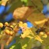 飛騨の秋 『ツルウメモドキ』
