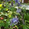 植物への興味は尽きない〜絞り模様のバラ センチメンタルの開花