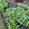 先日収穫した際はそうでもなかったのに急激に成長したように見えるシュンギク(リアル)