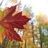 カナダの紅葉【モンロワイヤル山】モントリオールの街並み