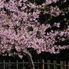 河津桜とメジロ 2013 3月