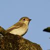 カケス・コサメビタキ・ホシガラス・・・たまには小鳥を