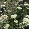 オルレアとアグロステンマの開花