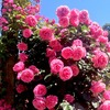【旅行記】薔薇園で咲き誇る薔薇の花を堪能してきました!<千葉県市川市のバラ園/里見公園>
