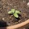 種まき体験の定番、アサガオの芽が出ました