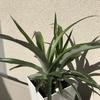 【パイナップル成長記録】ヘタから栽培して1年目/大きくなってる~