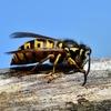 アメリカ:「殺人スズメバチ」の入国が確認される