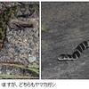 「男の子ってヘビ、好きだよね」〜毒蛇はどこじゃ?