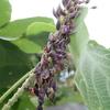 擬態の名人! クズの花に紛れ込む紫の幼虫ウラギンシジミ