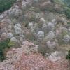 奈良の桜の名所をハシゴしてきた