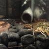 Procambarus pygmaeus(パイギマヌス) 抱卵?