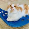 おもちゃに飽きた愛猫と骨盤サポートシートBackJoyで遊びます(?)