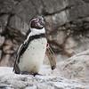 よこはま動物園ズーラシアのペンギン