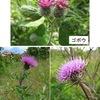 ゴボウ(3) ごぼうの花はアザミの花そっくり.実はひっつき虫にして,漢方生薬.でも「山ごぼう」は食べられますが,「ヤマゴボウ」は食べられないので注意!?