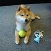テニスボールと飼い主の足