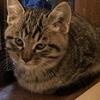 子猫がウズラ猫になってしまった!?!キジトラ子猫は可愛い!