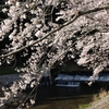 桜と神山川