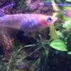 夜桜メダカの稚魚1cmお迎えしました🐟