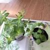 無印良品のバケツでベランダ菜園。新しいハーブたちを植えました。