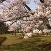 またまた三峰公園の桜