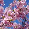 河津桜が見頃!