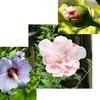 ムクゲ「暑さで人や植物が元気のなくなる季節に、次々と大きな花を咲かせるムクゲは、盛夏を彩る代表的な花木.ハイビスカス・芙蓉の仲間です(趣味の園芸)」/ 英語ではrose of Sharon.ただ、残念ながら、男女の賛歌、聖書ソロモンの雅歌にあるrose of Sharonはムクゲではなく水仙・クロッカス等の球根植物とのこと.//雨はれて心すがしくなりにけり  窓より見ゆる白木槿のはな 斎藤茂吉