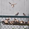 飛翔訓練と放鳥のタイミング