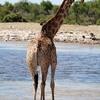 キリンの特徴:web動物図鑑