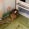 ウサギのちまき早変わりの術