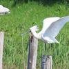 鳥撮り@葛西臨海公園でクロツラヘラサギ