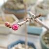 だんだん昼が長くなる。盆栽も春のよそおい