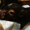 豚とマッドサイエンティスト