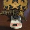 ホルスちゃん体重測定3