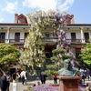 南通博物苑の藤が満開