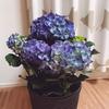 4歳児と母の日について語った プレゼントは紫陽花