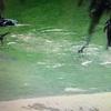 【子育て】San Diego Zooのライブカメラで動物園気分を味わう