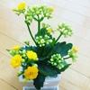 黄色いお花がかわえぇカランコエ・グランディーバ