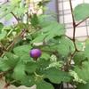 【簡単投稿】野葡萄の実が色づき始めました!
