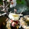 早春の甘い花。盆栽の梅が咲く