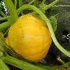 生食できるカボチャ「コリンキー」の収穫