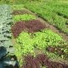 農園日誌Ⅱー「活きること」ーPART17ー現代有機野菜の課題点