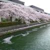 琵琶湖疏水の桜散歩♪ ー花筏ー (2012年度京都・桜アーカイブ)