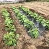 オクラの定植、エダマメの土寄せ、そして・・・イモムシ画像