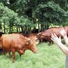 岩手の「短角牛」減る一方、30年前の2割弱に