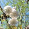 水前寺児童公園の桜