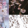 開花の話とシダレザクラ