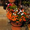 実家のガーデンの春の花♪オルラヤやビオラなど♪