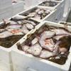 2020年1月23日 小浜漁港 お魚情報