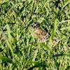 池のキンクロハジロを捕らえ、脚の指でつかんで飛ぶオオタカ