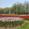 チューリップ畑が綺麗な、この公園はどこでしょう( ´∀`)?